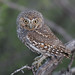 Elf Owl by Terry Sohl