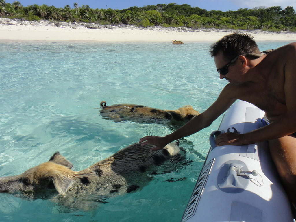 Tame Pigs at Big Major Cay