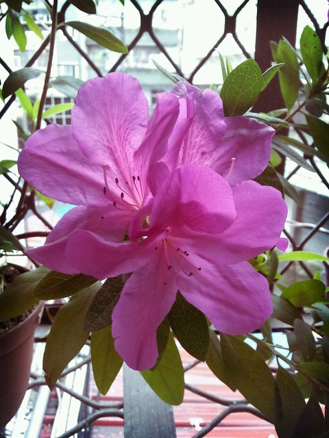 我家的杜鵑花