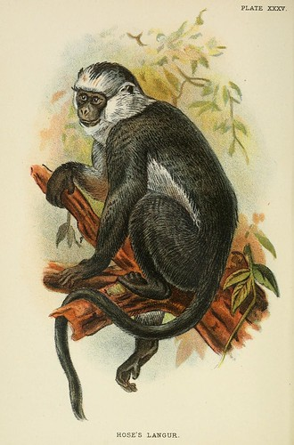 020-Langur de Hose-A hand-book  to the primates-Volume 2-1896- Henry Ogg Forbes
