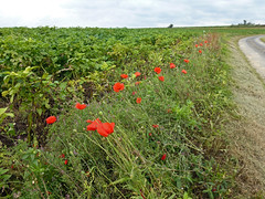Poppies on the way to Louvencourt