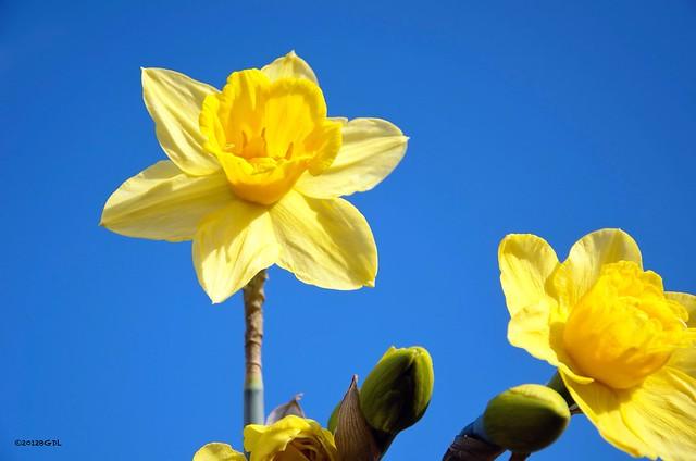 Daffodil Time!