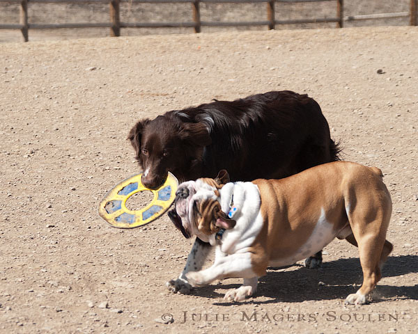 Bulldog and brown dog play tug of war with toy