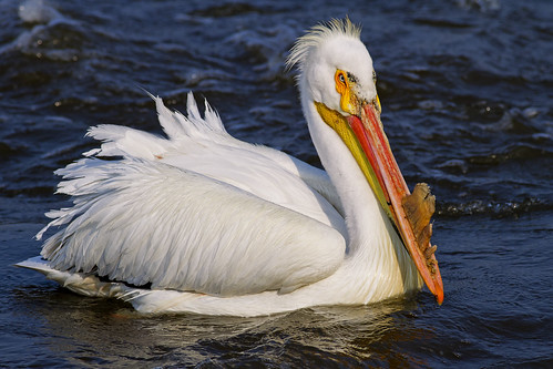 American Pelican On The Mississippi   4922