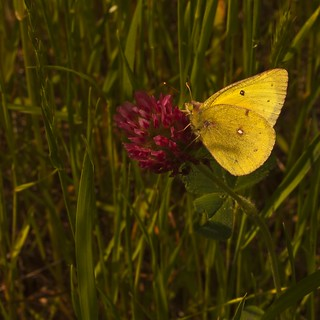 Crimson Clover with Clouded Yellow butterfly