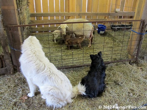 Farm dogs and little lambs 3 - FarmgirlFare.com