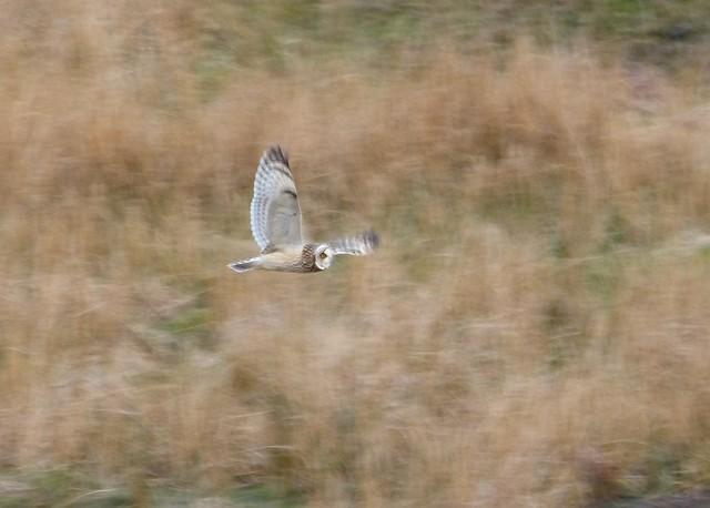 26971 - Short Eared Owl, Mull