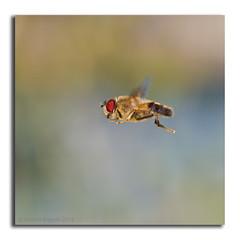 Hoverfly flying in flight