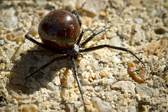 Big-Opisthosoma Spider