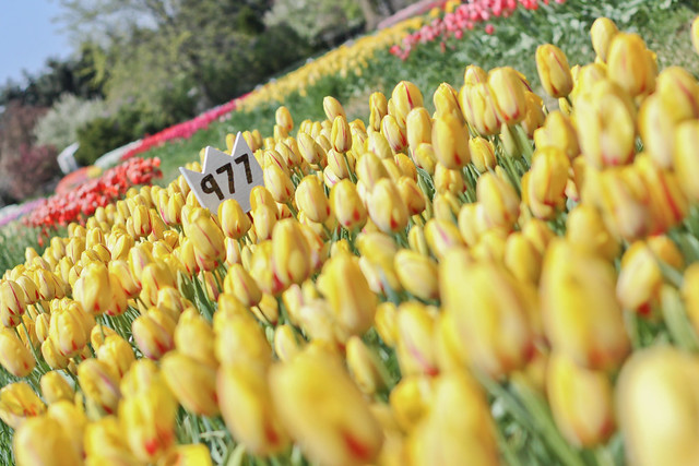 tulips more-6