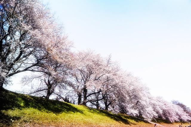 Cherry Blossoms Walk
