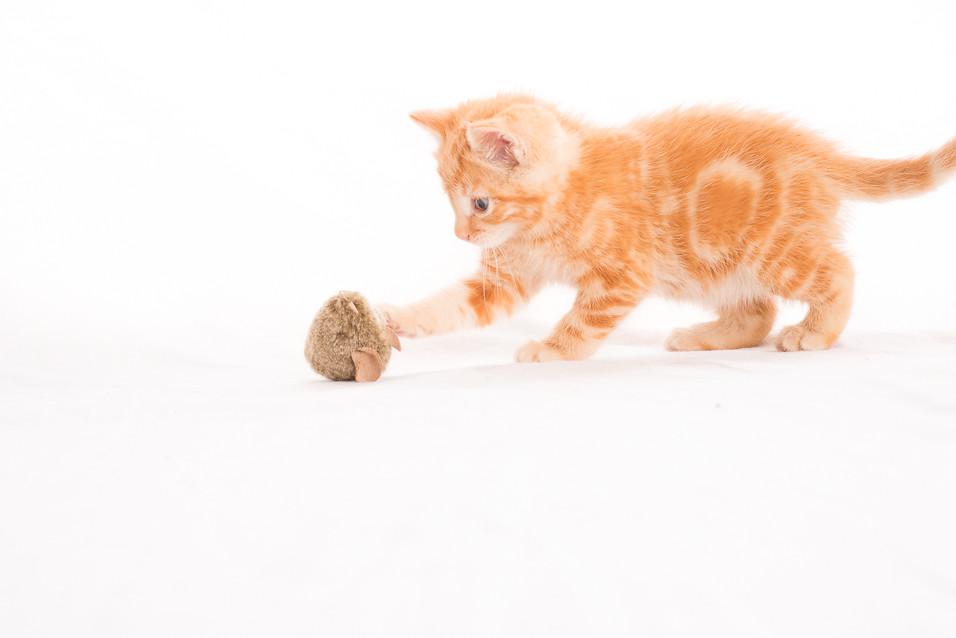 Lion-O O'Kitten