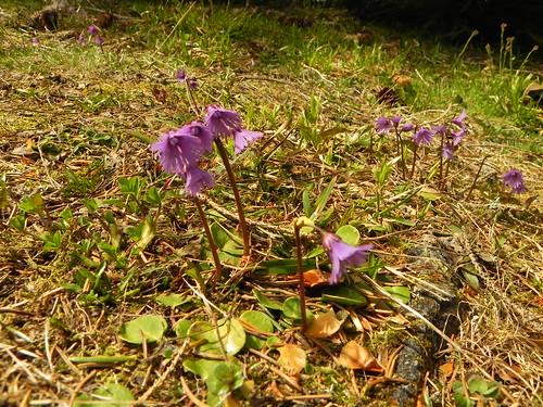 Soldanelle des Alpes=Soldanella alpina
