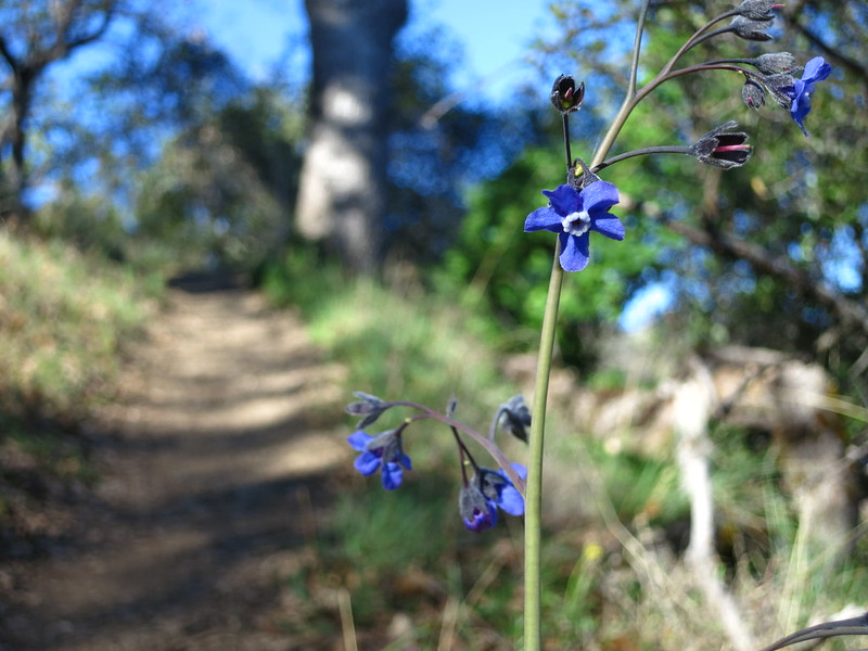 Delicate blue flowers of the Western Hound's Tongue in the borage family, along the Ohlone Trail.
