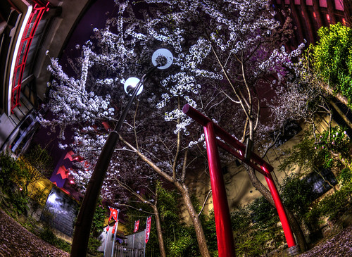 妻恋神社の桜