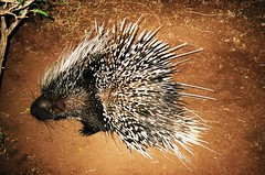 echidna, animal, porcupine, monotreme, fauna, whiskers, wildlife,