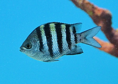 fish texas brownsville sergeantmajor damselfish gladysporterzoo abudefdufsaxatilis nikond7000 nikkor18to200mmvrlens