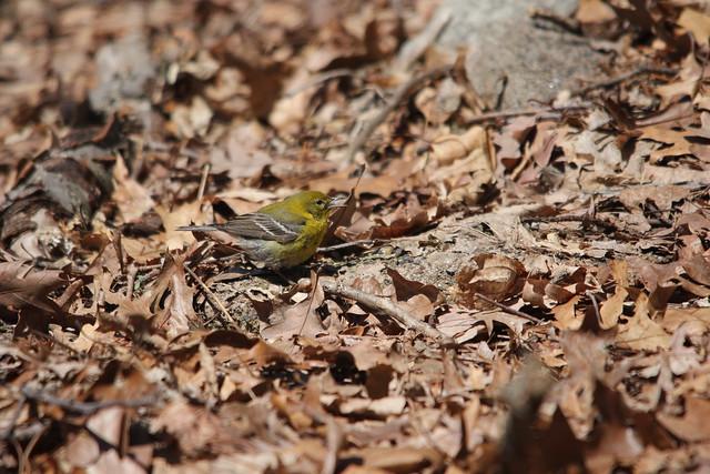 Pine Warbler Pair - Garret Mountain