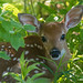 Fawn-db camp-Glover Road by dfbphotos