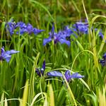 Blue irises, near Bantock Park pool