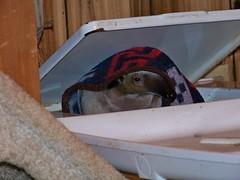 Pua under cover
