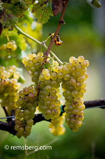White grapes hanging from the vine on a vineyard