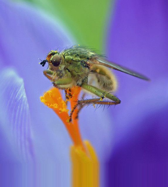 As pretty as a dung fly on a crocus!