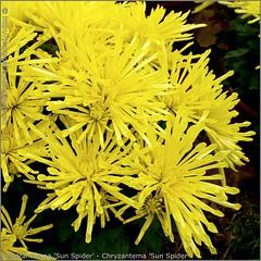 Dendranthema 'Sun Spider' - Chryzantema 'Sun Spider' kwiaty