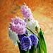 Hyacinthus orientalis_風信子