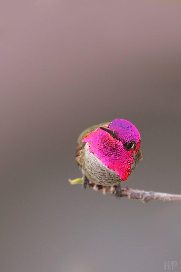 Anna's Hummingbird 030512