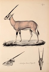 sketch(0.0), springbok(0.0), figure drawing(0.0), cartoon(0.0), animal(1.0), antelope(1.0), mammal(1.0), fauna(1.0), drawing(1.0), oryx(1.0), illustration(1.0), gazelle(1.0),