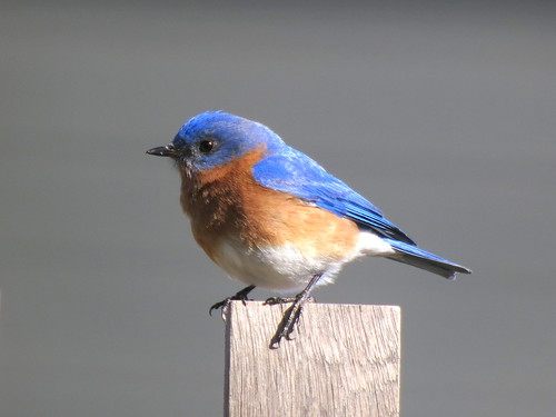 Eastern Bluebird (Sialia sialis), Bedminster, NJ by JFPescatore