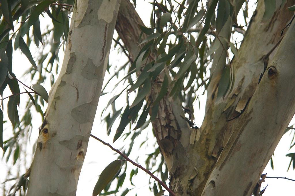 eucalyptus  1384