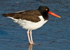 animal, wing, fauna, oystercatcher, shorebird, beak, bird, wildlife,