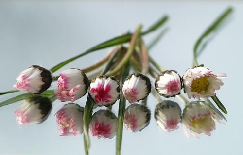 daisies by nikjanssen