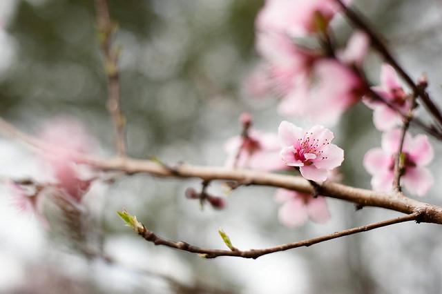 Spring 2012 Peach Blossom