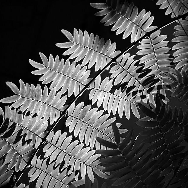 Pteridophyta (fern)