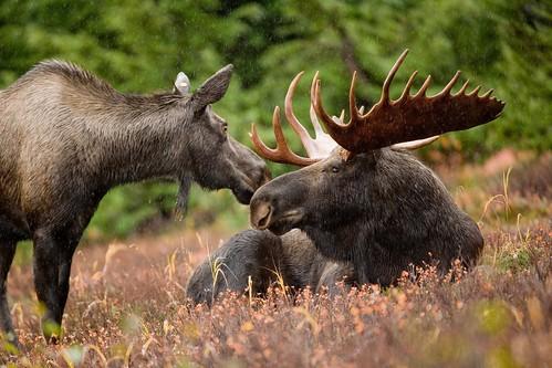 [フリー画像素材] 動物 1, 哺乳類, 鹿・シカ, ヘラジカ, 動物 - カップル ID:201202171600