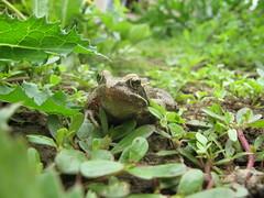 animal, amphibian, toad, frog, reptile, green, fauna, ranidae, bullfrog, wildlife,