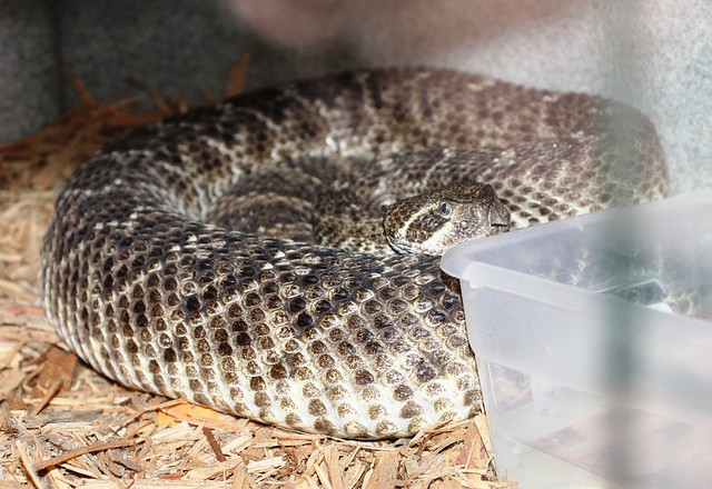 Western Diamondback Rattlesnake (behind glass)