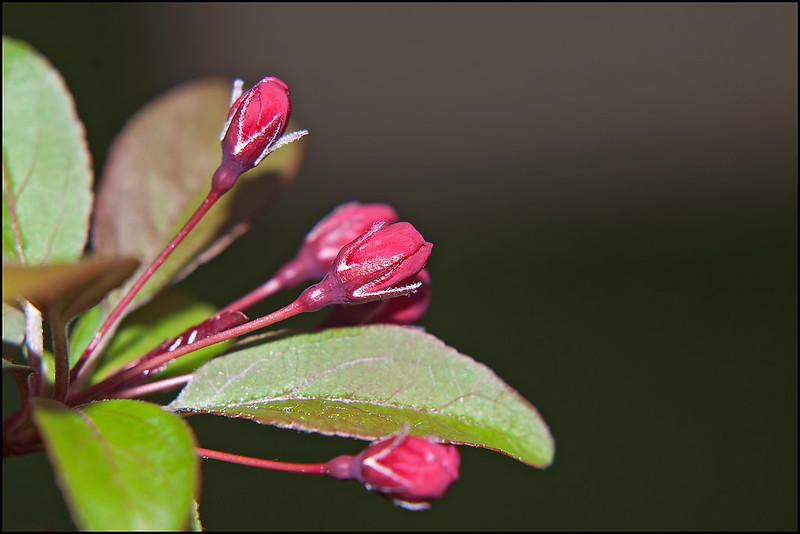 Flowering Crabapple Bud