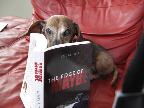 "Scarlet the Wiener Dog reading ""The Edge of Maybe"" by Ericka Lutz"