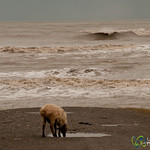Sheep by Caspian Sea - Iran