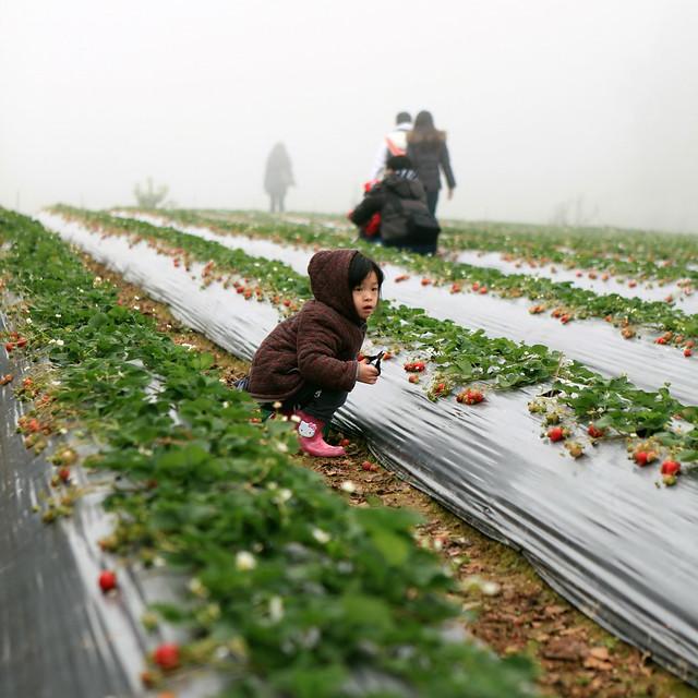 高山草莓  很愛採 II
