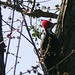 woodpecker_0002
