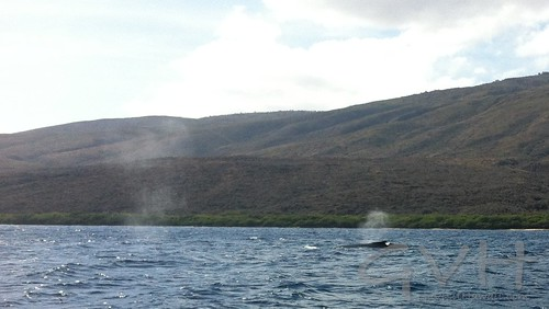 Humpback whale spouts (exhaling) off the coast of Lanai