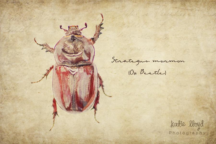 2-19-12-Ox-beetle-wm