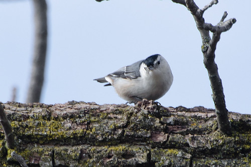 Monday - Nuthatch Looking back at me