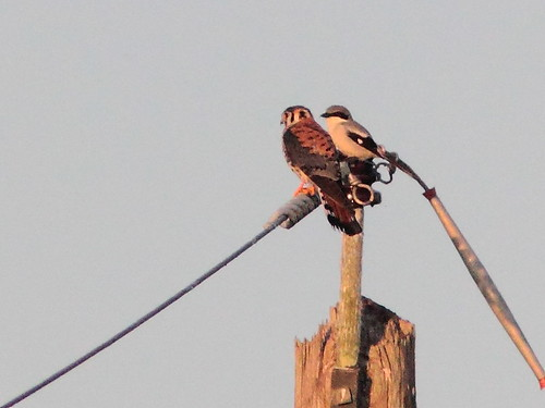 Kestrel and shrike 20120224