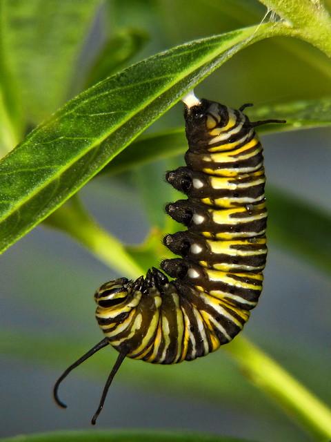 Caterpillar to Chrysalis #2
